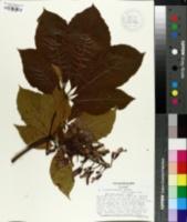 Image of Aesculus x woerlitzensis