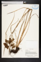 Cyperus distans image