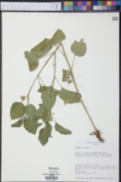 Physalis viscosa image