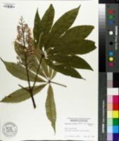 Image of Aesculus indica