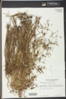 Psilocarya scirpoides image