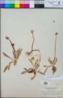 Image of Taraxacum californicum