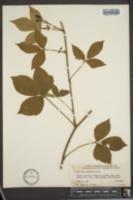 Image of Rubus x zaplutus