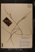 Calamagrostis cainii image