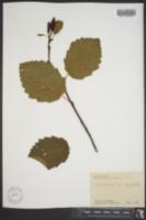 Alnus alnobetula image