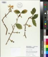 Brunfelsia australis image