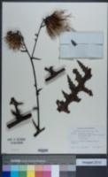 Image of Cirsium conspicuum