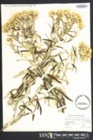 Gnaphalium polycephalum image