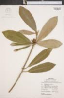 Rhododendron maximum image