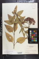 Eupatorium dubium image
