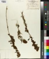 Image of Dalea thyrsiflora