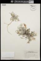 Astragalus amphioxys var. amphioxys image
