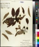 Image of Alphitonia ponderosa