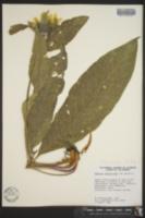 Wyethia helenioides image