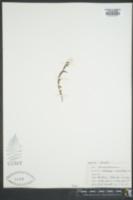 Castilleja occidentalis image