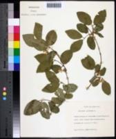 Lonicera xylosteum image