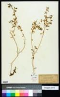 Crotalaria pumila image