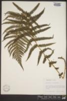 Thelypteris limbosperma image