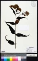 Image of Eupatorium chinense