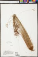 Bulbostylis ciliatifolia var. coarctata image