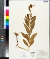 Image of Physostegia ledinghamii
