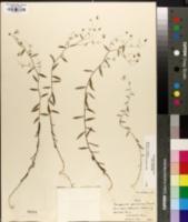 Campanula aparinoides image