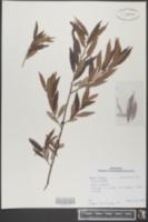 Image of Salix gracilis