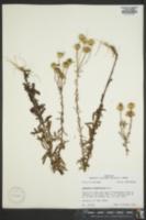 Image of Chrysopsis hyssopifolia