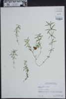 Galium uniflorum image