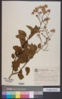 Image of Solanum flaccidum