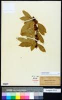 Sideroxylon lycioides image
