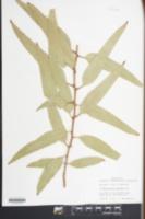Image of Eucalyptus papuana