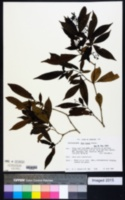 Image of Neea tenuis