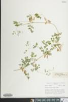 Image of Adlumia fungosa