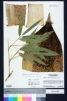 Image of Phyllostachys edulis