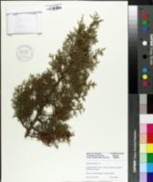 Juniperus phoenicea image