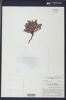 Euphorbia adenoptera image