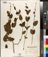 Image of Salvia ovalifolia