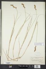 Carex hormathodes image