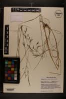 Agrostis altissima image