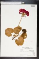 Image of Pelargonium zonale