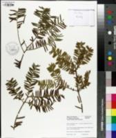 Image of Taxus wallichiana
