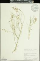 Astragalus convallarius image