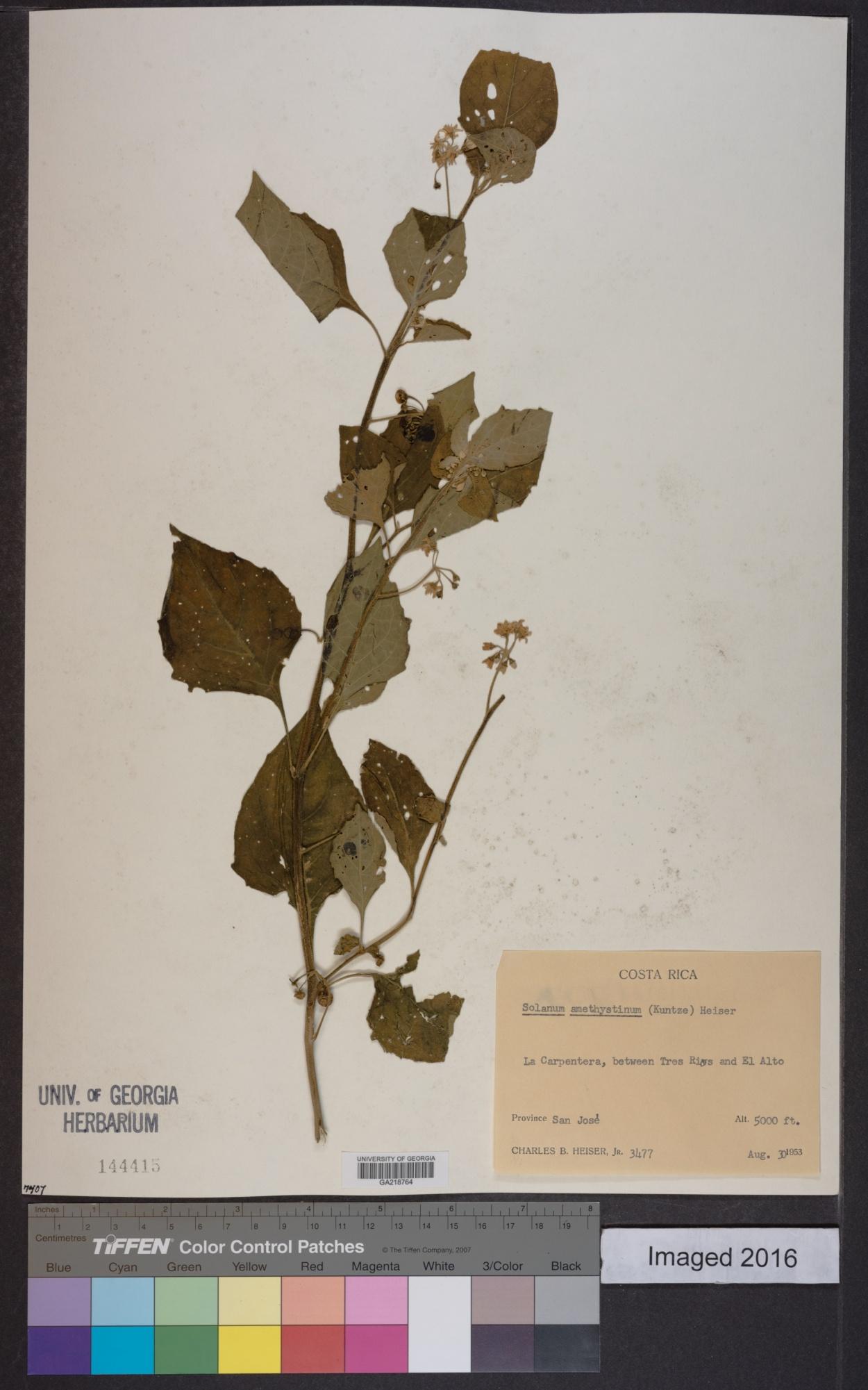 Solanum amethystinum image