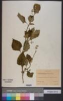 Image of Solanum amethystinum