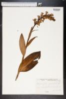 Blephariglotis grandiflora image