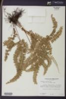 Image of Lindsaea montana