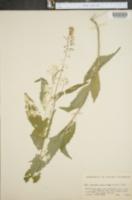 Iodanthus pinnatifidus image