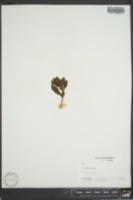 Phoradendron serotinum subsp. serotinum image