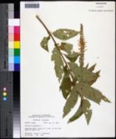 Teucrium canadense var. canadense image